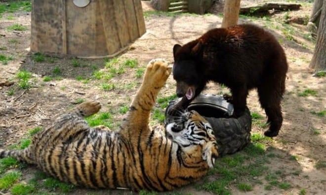 Фотографии тигр