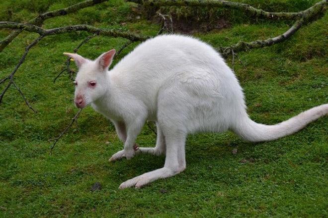 Animaux albinos – Kangourous – 10