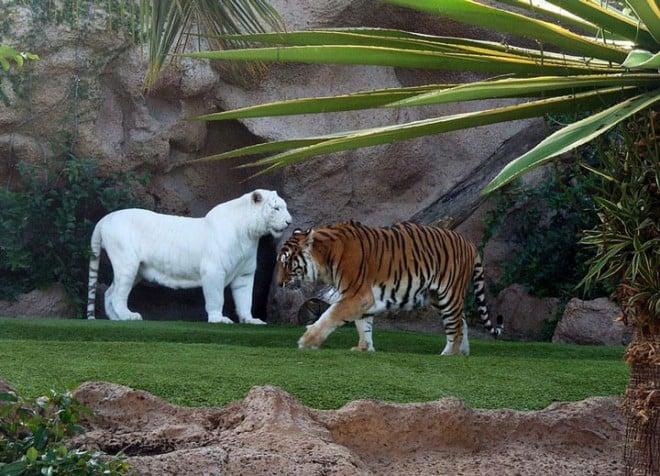 Animaux albinos – tigres – 6