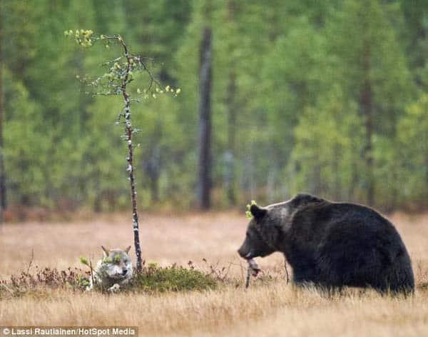 Histoire d'amour entre un ours et un loup – 1