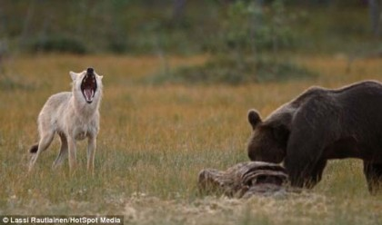 L'histoire d'amour incroyable entre un ours et un loup