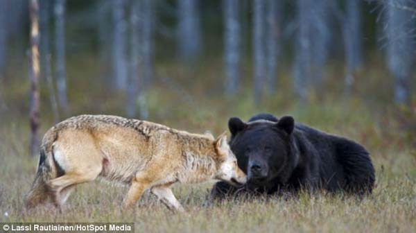 Histoire d'amour entre un ours et un loup – 3